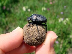 hand-with-dung-beetle-on-ball