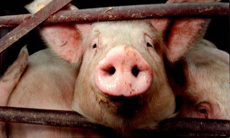 Pig-snout-001