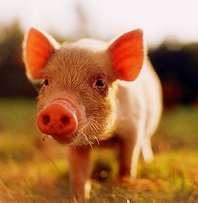 young-pig