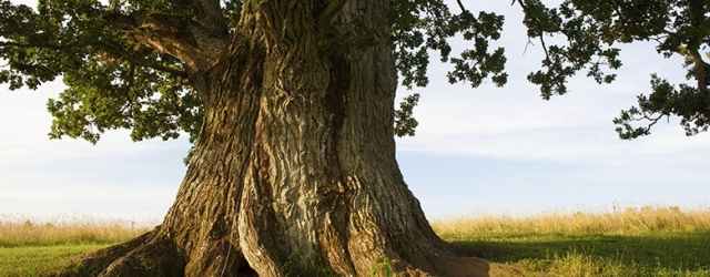 oaktreeistock780